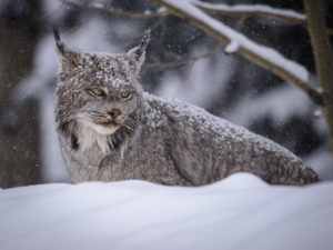 Canada lynx, by James Beissel